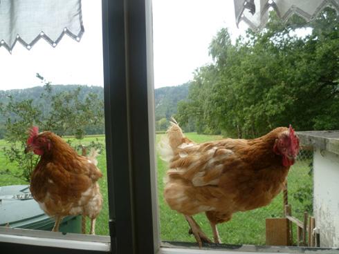 Bichonnée, une poule à 30 euros peut donner près de 150 oeufs par an.