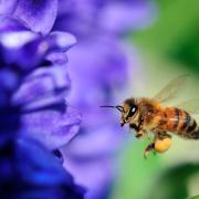 Une abeille allant butiner une fleur