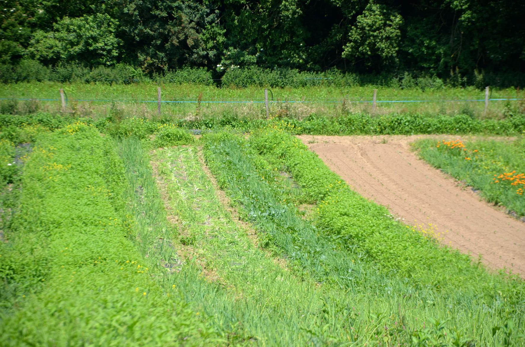 Soit une planche de culture de 100 mètres, un oignon planté tous les 15 centimètres sur 3 rangées et 8 fois plus de mauvaises herbes. Combien faut-il d'heures pour désherber la surface ?