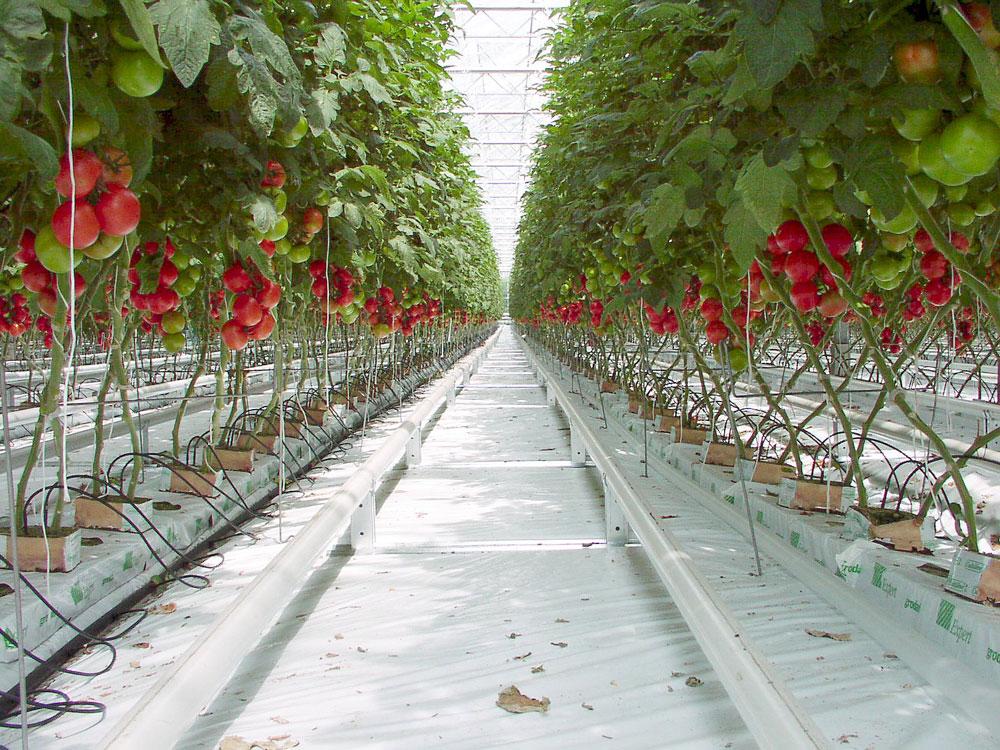 Vous voulez de la tomate toute l'année ? Voilà comment elle pousse du côté de l'Espagne.