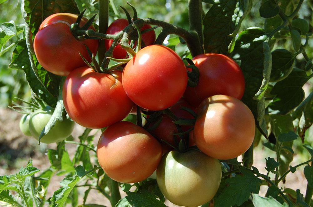 mildiou-tomate-guide-L-UjqDB7