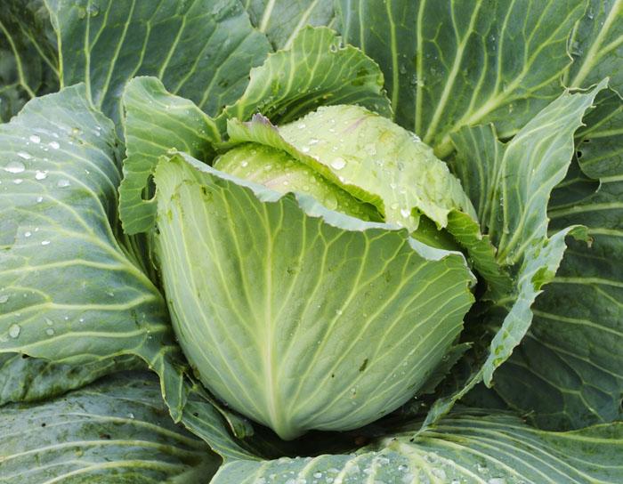 Deux pour un : il faut deux kilos de chou vert pour fabriquer un kilo de choucroute.