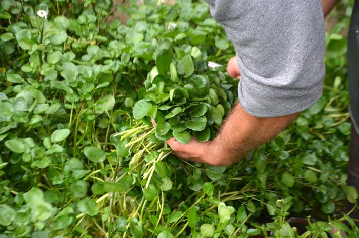 La récolte du cresson se fait à la main, les pieds dans l'eau. On forme de jolis bouquets bien denses.