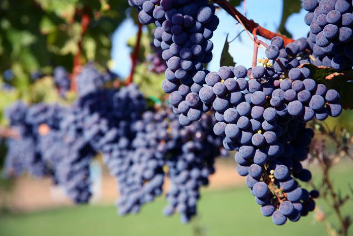 Au niveau européen, les raisins les raisins détiennent le record de fongicides synthétiques reçus (juste après les pommes de terre).