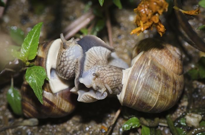 Dans la nature, pour savoir si un escargot a eu le temps de se reproduire (et donc d'assurer sa survie), regardez la coquille. Si elle se recourbe légèrement comme une casquette, c'est fort probable. Sinon c'est que la bête a été ramassée trop jeune.