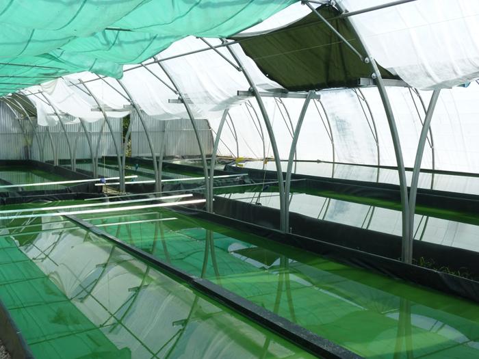 Une piscine couverte ? Non un bassin de culture de la spiruline.