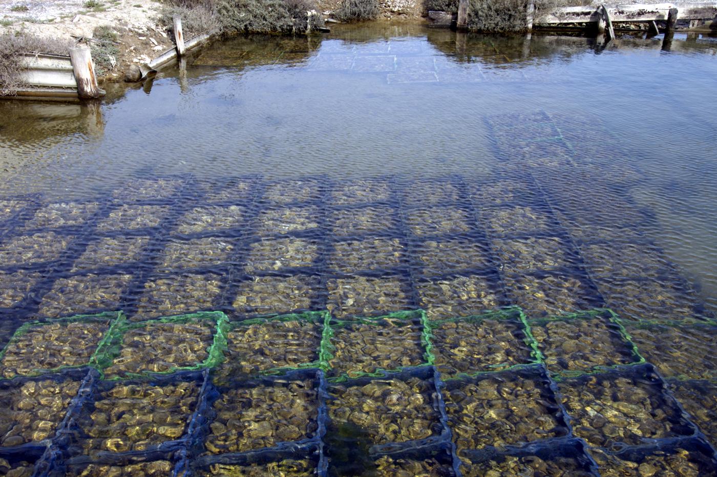 Après avoir été pêchées en mer, les huitres sont affinées dans des parcs spéciaux.