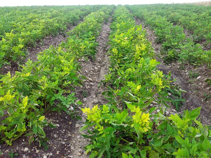 Le ons pataphysiques oui le blog de la ruche qui dit oui - Quand planter les patates ...