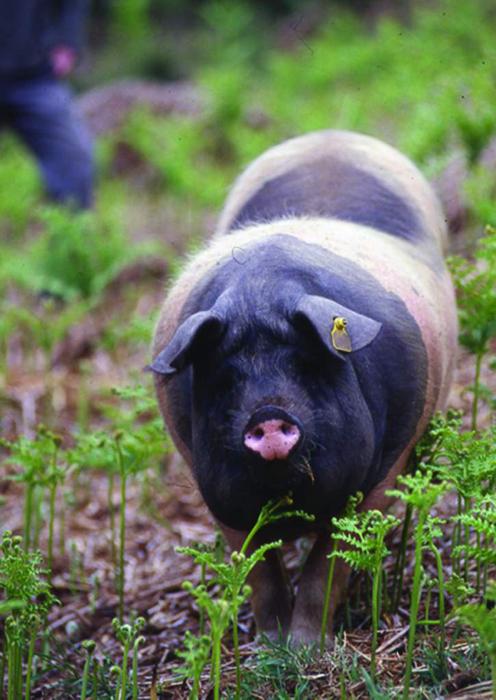 Et voilà un cochon heureux à caresser quelque part en Limousin.