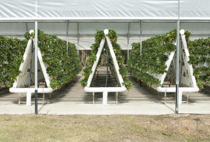 Vertical garden strawberries - Cultures Sans Sol Et Sans Reproches Oui Le Blog De