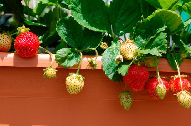 Les petits fruits poussent bien dans les pots. Et vous serez sûr qu'il n'y aura pas de pesticides.