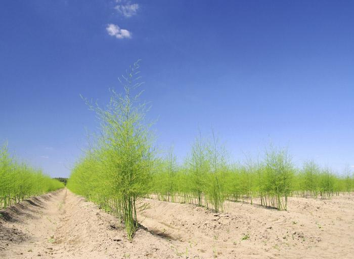 Après avoir planté une griffe d'asperge dans un sol sablonneux, il faut attendre 3 ans pour la 1ère récolte. Une griffe produira dix ans.