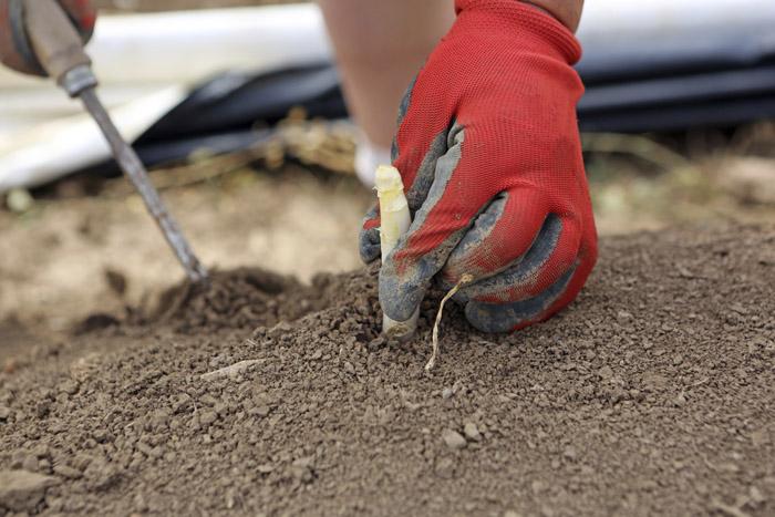 La récolte de l'asperge, à la main et avec beaucoup de tact et de délicatesse.