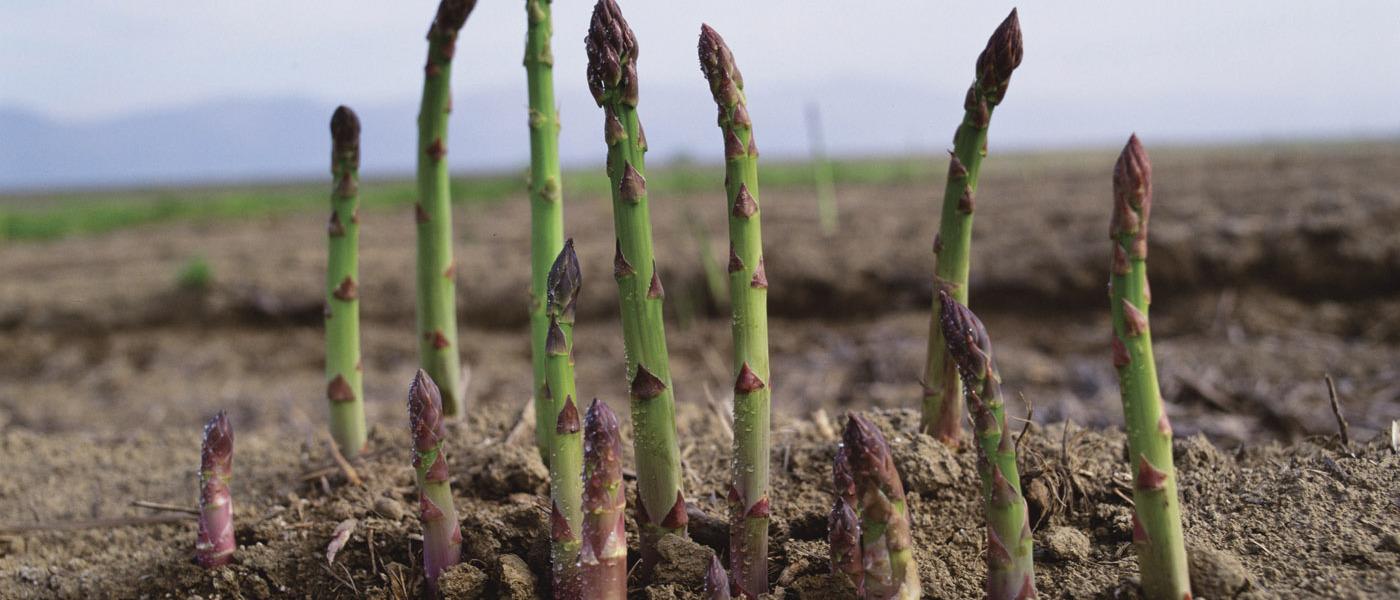 L 39 asperge le l gume qui met 3 ans pour pousser oui le - Comment cuisiner les asperges sauvages ...
