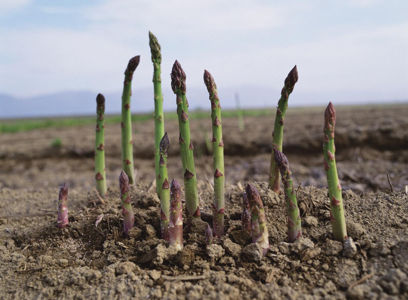 Comment Planter Des Asperges l'asperge, le légume qui met 3 ans pour pousser - oui ! le