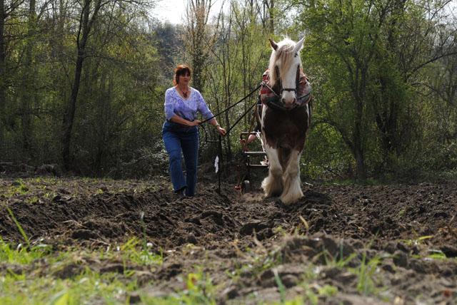 Un cheval de trait, ça se dresse à la voie et à la poigne.