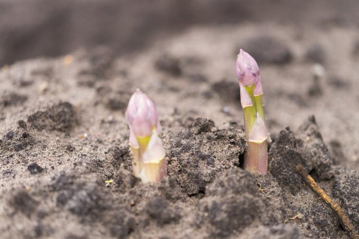 L'asperge violette est très fruitée. C'est une asperge blanche qu'on a laissé échapper de sa butte et dont la pointe devient mauve sous l'effet de la lumière. Elle prend une légère amertume.