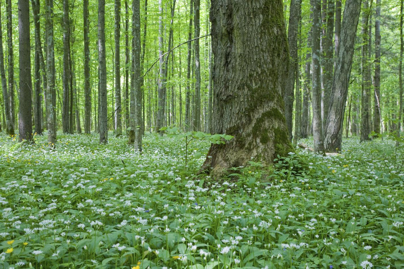 L 39 ail des ours le condiment forestier oui le blog de - L ail des ours ...