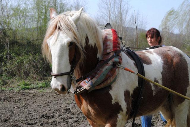 Facile le dressage des chevaux de trait ? Que n'henni!