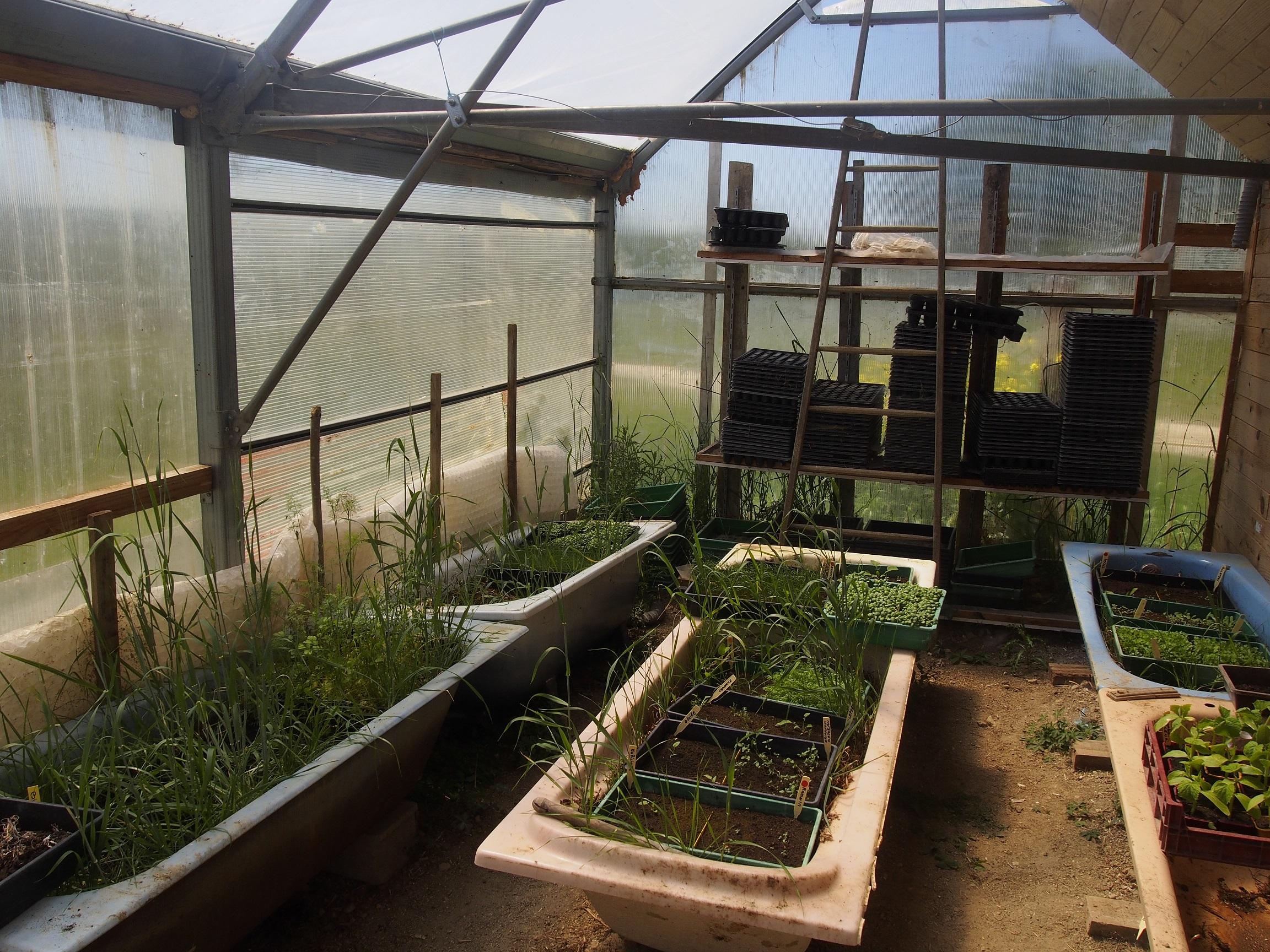 Les jeunes plants sont d'abord cultivés... dans des baignoires.