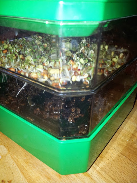 Le germoir doit rester ouvert de façon à ce que l'air circule sinon les graines vont fermenter, moisir ou faire plus de racines que de feuilles. Il faut aussi veiller à les arroser matin et soir.