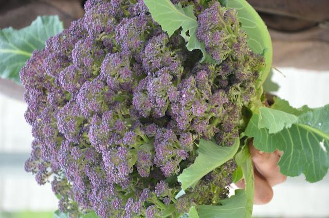 Dans les champs de Benoît, les choux-fleurs sont violets. Ici, on cultive des variétés oubliées.