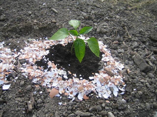 Le paillage aux coquilles d'oeufs, une idée http://jardinfridolin.e-monsite.com