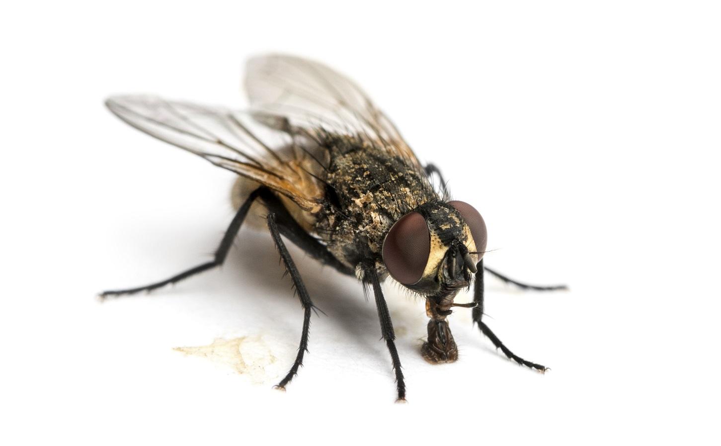 La mouche domestique