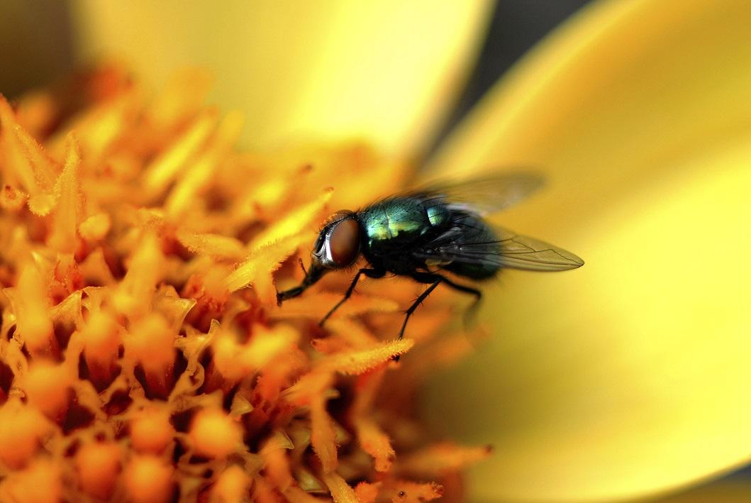 Une mouche domestique qui sirote du nectar.