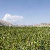 Un champ de cannabis au Liban.