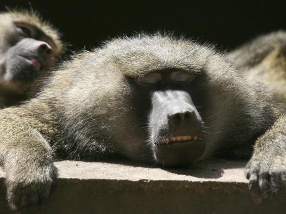 Les singes de la malbouffe