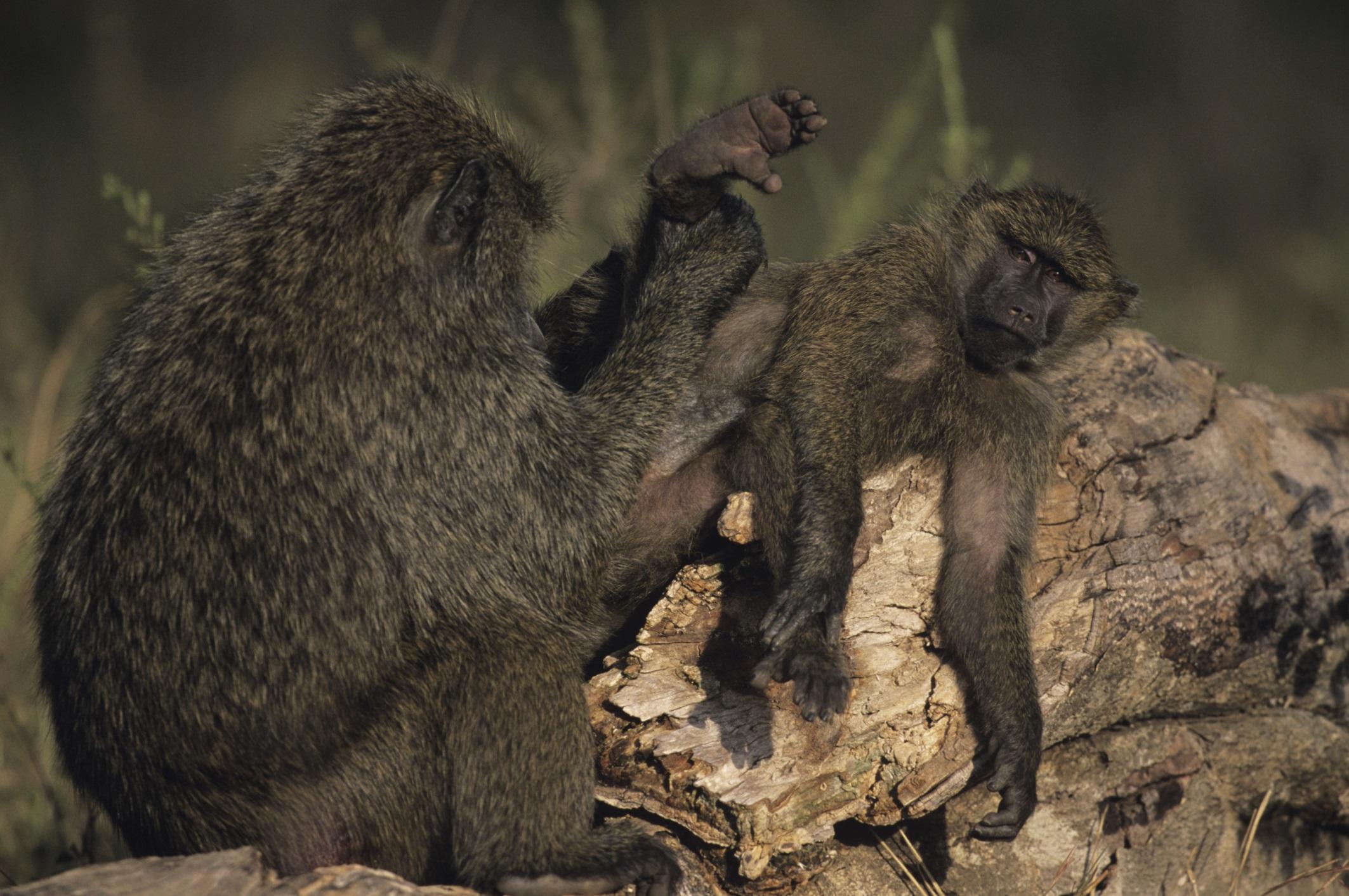 """""""Au lieu de commencer à se mettre en mouvement à l'aurore, les Babouins restaient à présent dans les arbres à somnoler ou se toiletter mutuellement..."""""""