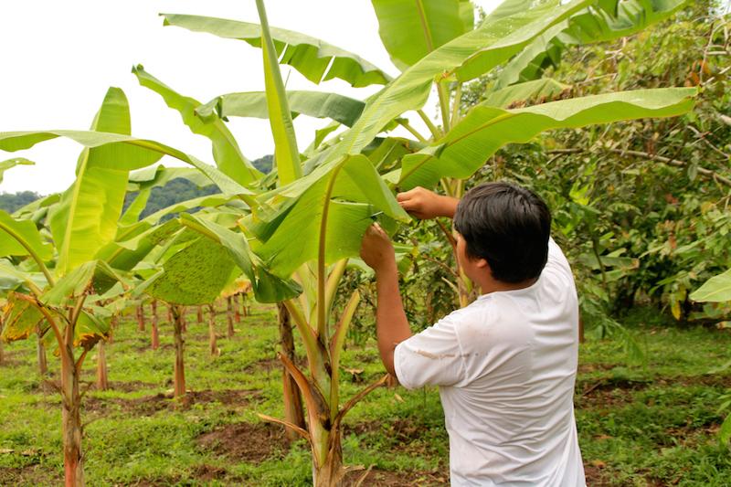Plantation de bananes en Amérique du Sud.