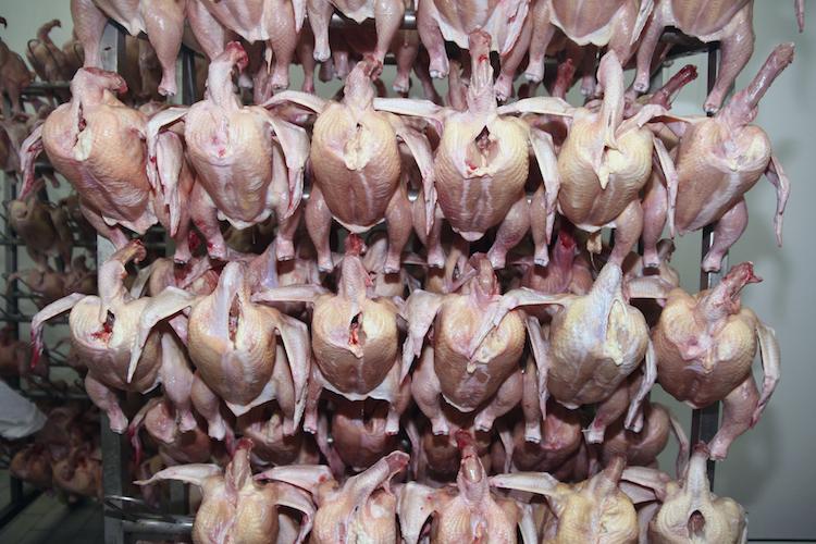Au Etats-Unis, les poulets sont rincés au chlore.