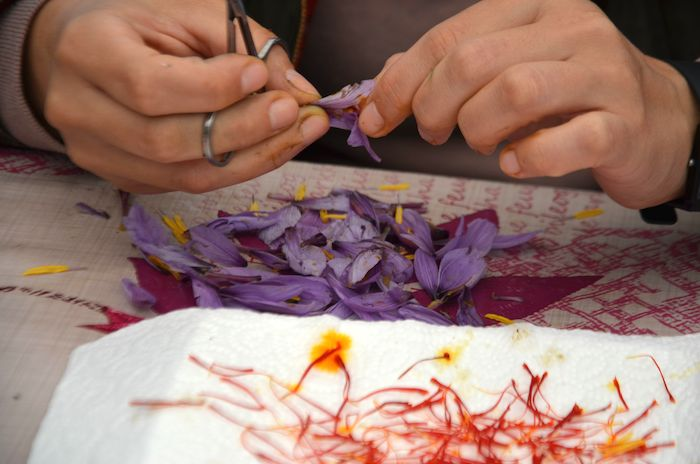 5 grammes de safran frais donnent 1 gramme de safran séché.