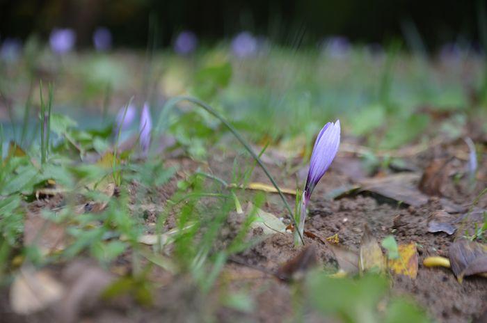 La première année, on obtient 2500 fleurs avec 10 000 bulbes. En année 2, le bulbe produit 3 fleurs, en année 3 une dizaine.