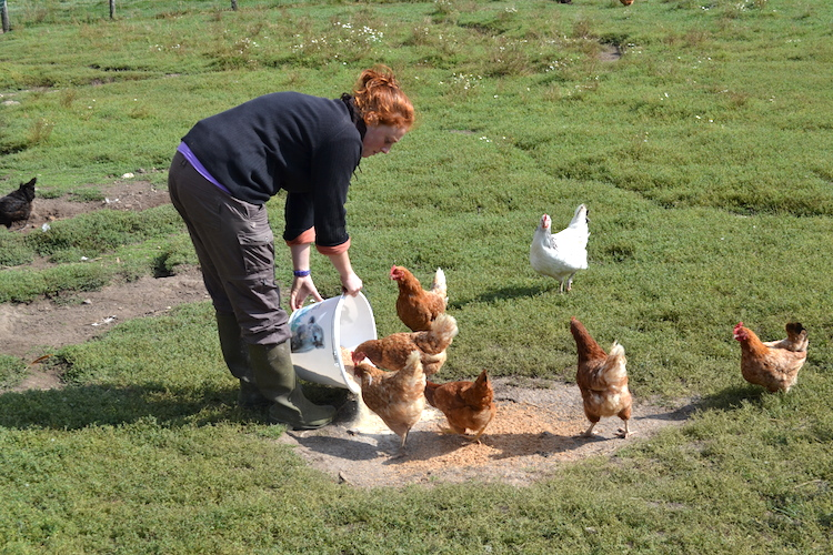 (11) les poules, des animaux très curieux. On mélange les couleurs pour avoir une jolie palette dans nos boites à oeufs. On leur met un gros stock des nourritures mais parfois elles sont besoin de complément, ça permet aussi de voir si tout va bien...