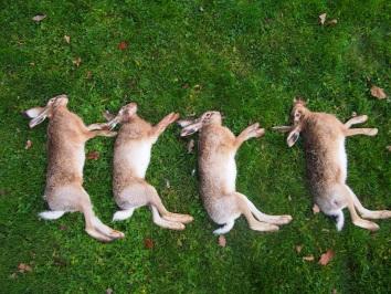 Quatre lièvres.