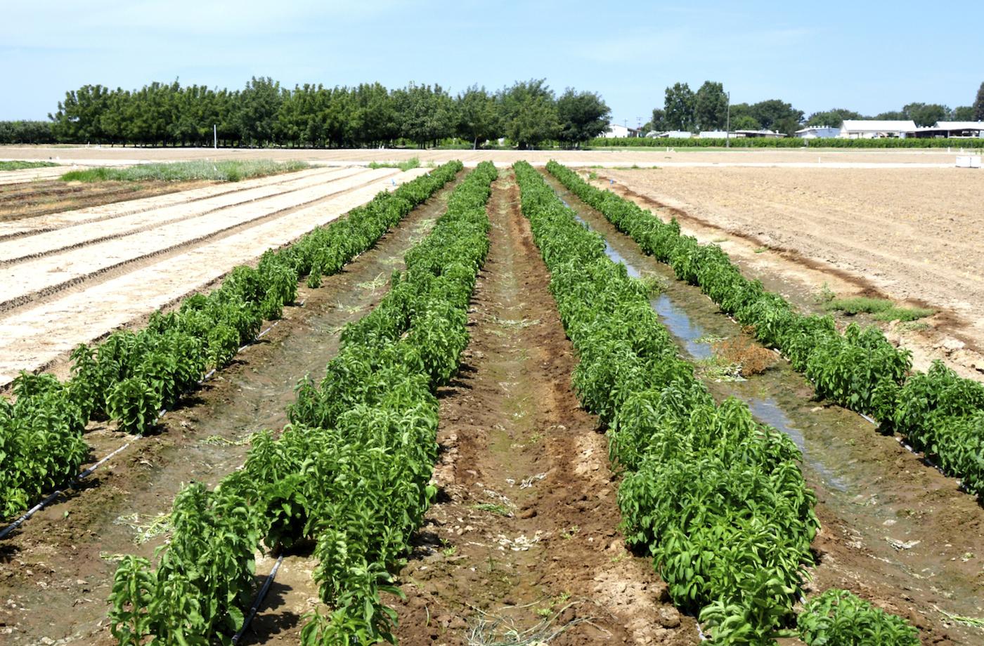 La stevia può essere coltivata in tutto il mondo. I rendimenti sono più alti nei paesi con temperatura e luminosità alta.