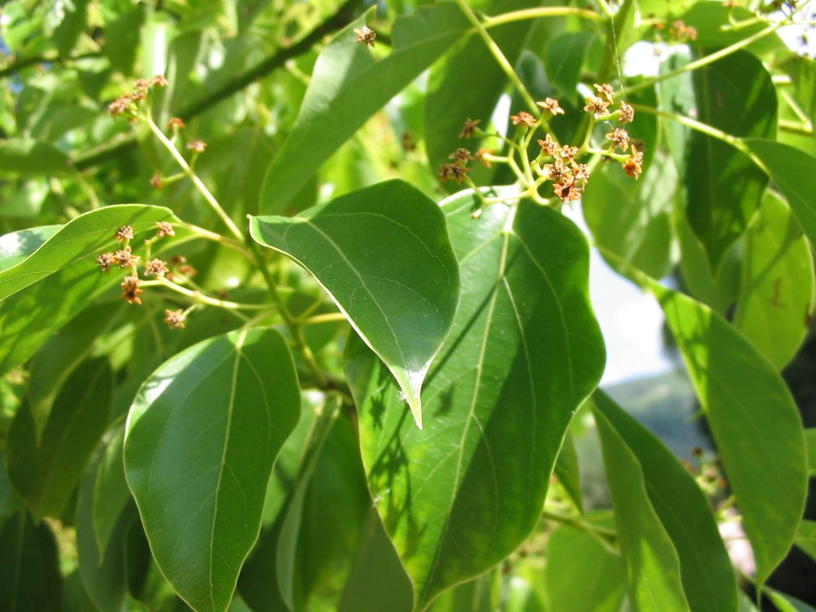 Le Ravintsara, aussi appelé Camphrier de Madagascar, aussi appelé Cinnamomum camphora cineoliferum (trop facile).