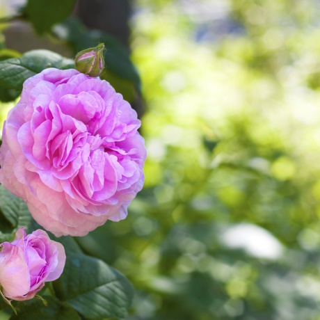 La rose centifolia.