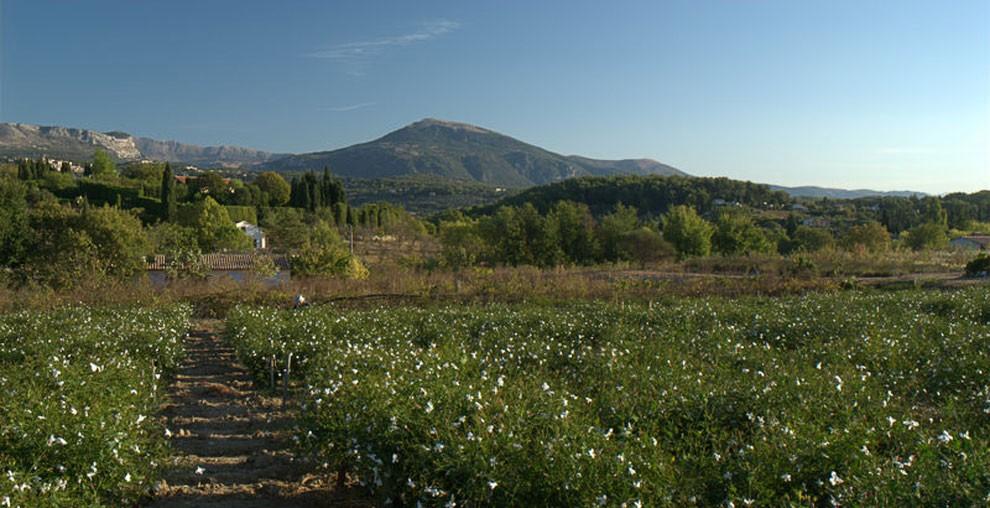 Le champ de jasmin.
