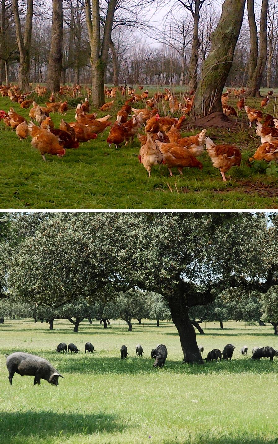 Elevage de poule ou de porcs... L'agroforesterie se décline pour toutes les fermes.