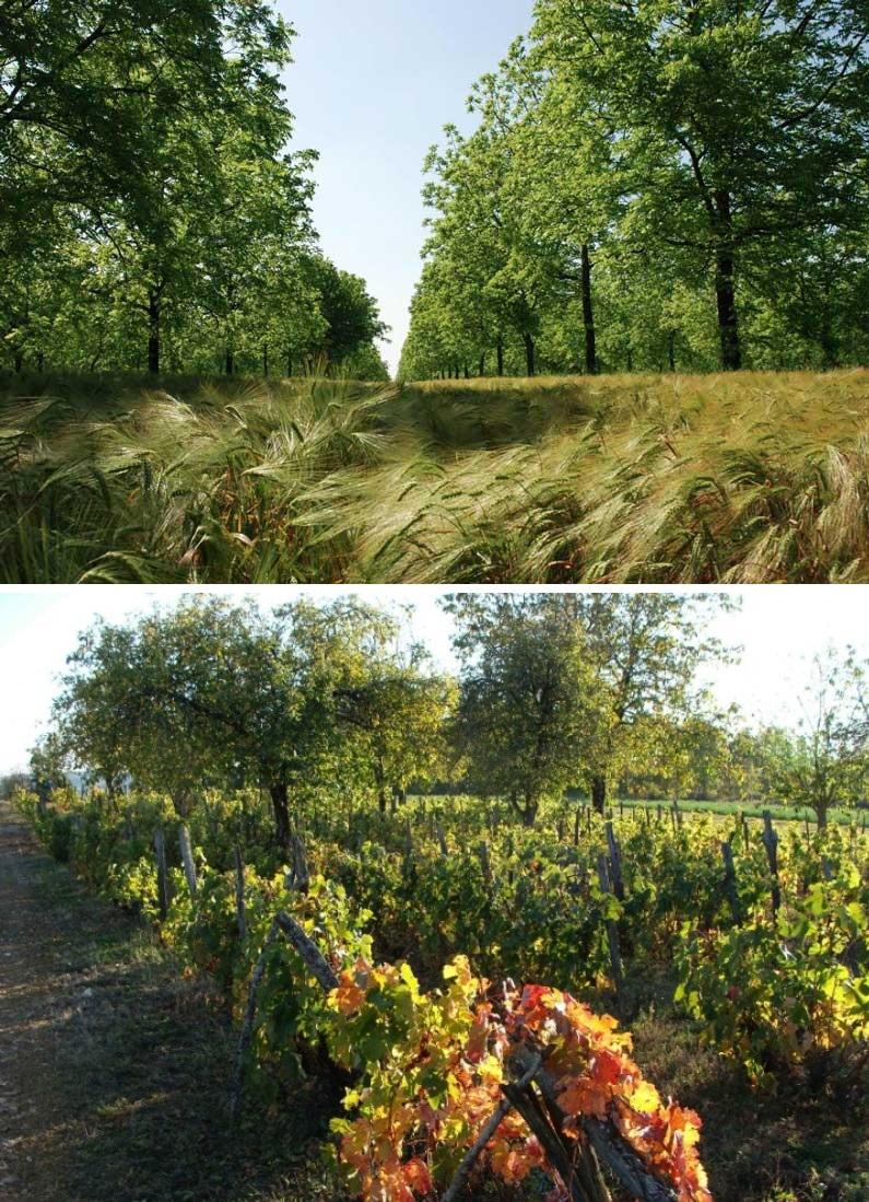 En haut : noyers associés aux céréales. En bas : arbres fruitiers dans les vignes.