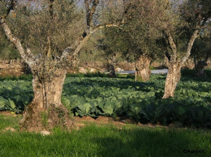 Des oliviers dans les choux...