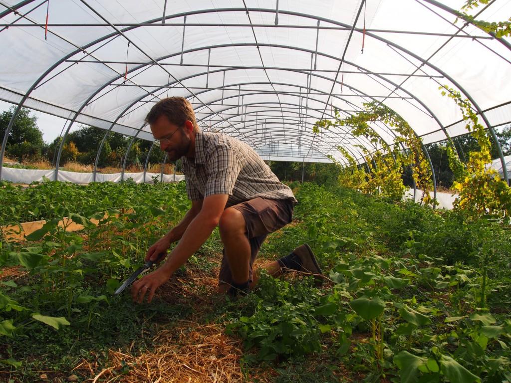 Sous une serre, Jérôme laisse grimper de la vigne. Les feuilles apporteront une fraîcheur naturelle, et les raisins pourront aussi être récoltés.