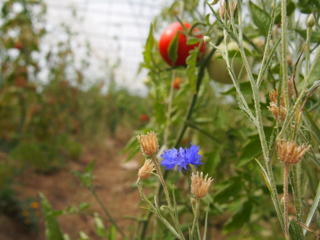Dans les cultures, il n'est pas rare de trouver des fleurs oubliées par la nature.