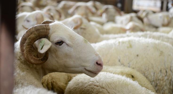 A moutons