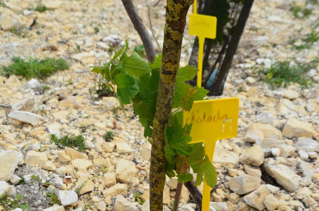 La Petite piquette picarde, une vigne participative et expérimentale.