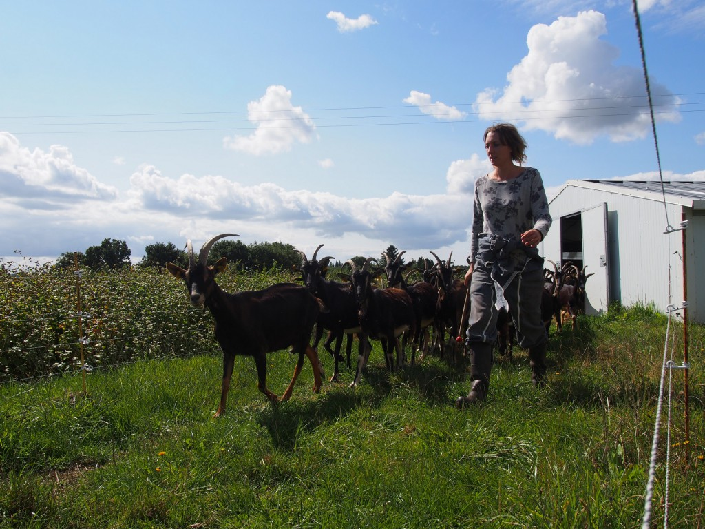 Tous les matins les chèvres trépignent devant la porte de la grange. Elles attendent l'heure de la promenade.